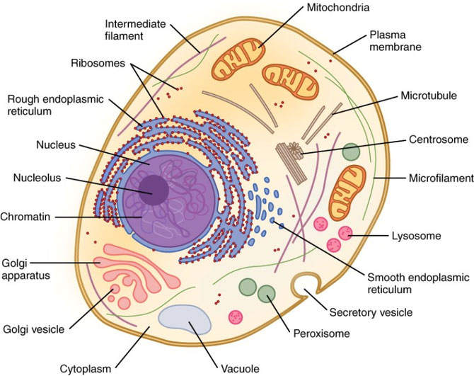 Surprising Animal Cell Parts And Functions Withcarbon Renstra Mohammedshrine Wiring Digital Resources Renstramohammedshrineorg