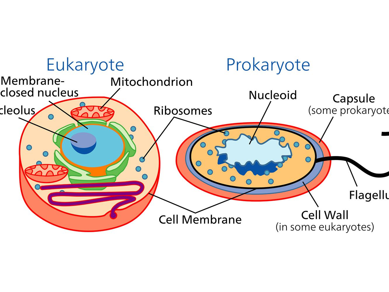 Awesome Learn About The Different Types Of Cells Prokaryotic And Eukaryotic Renstra Mohammedshrine Wiring Digital Resources Renstramohammedshrineorg