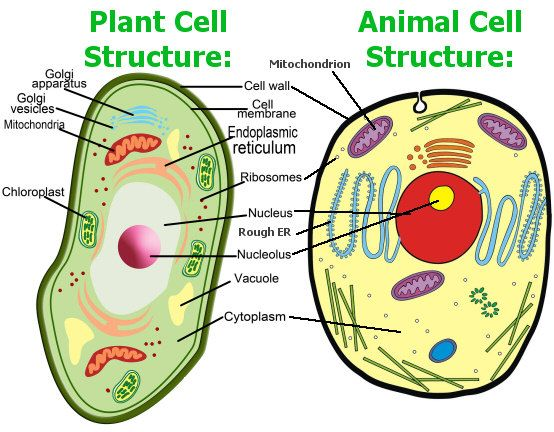Remarkable 3D Animal Cell Diagram With Labels On 3D Animal Cell Diagram Labeled Renstra Mohammedshrine Wiring Digital Resources Renstramohammedshrineorg
